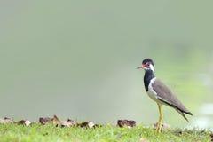Piękny ptaka stojak na glinianym wzgórzu (Czarnoskrzydły Stilt) Zdjęcie Royalty Free
