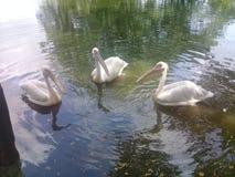 Piękny ptaka widok w wodzie fotografia royalty free
