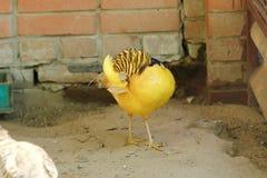 Piękny ptasi żółty bażant w zoo Obrazy Royalty Free