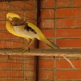 Piękny ptasi żółty bażant w zoo Zdjęcie Royalty Free