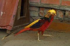 Piękny ptasi czerwony bażant w zoo Zdjęcia Royalty Free