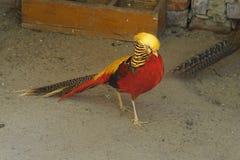 Piękny ptasi czerwony bażant w zoo Obraz Stock