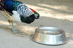 Piękny ptasi kolorowy błękitny bażant w zoo Fotografia Stock