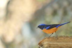 Piękny Ptasi tyczenie na beli (żywego niltava ptaka) Zdjęcia Stock