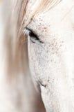 Piękny pura raza espanola pre andalusian koń zdjęcia royalty free