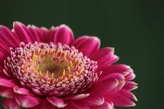 Purpura kwiat zdjęcie royalty free