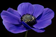 Piękny purpura kwiatu anemon fotografia stock