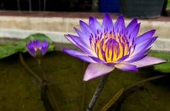 Piękny Purpurowy Żółty Lotosowy kwiat w Małym stawie, Selekcyjna ostrość używać jako szablon Zdjęcia Royalty Free