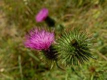 Piękny purpurowy łopian wśród zielonej trawy Zdjęcie Stock