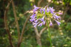 Piękny purpurowy agapantu africanus kwiat (Afrykańska leluja lub li Fotografia Stock