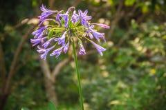 Piękny purpurowy agapantu africanus kwiat (Afrykańska leluja lub li Obrazy Royalty Free