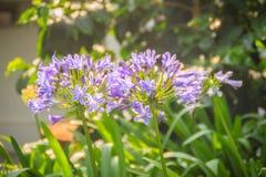 Piękny purpurowy agapantu africanus kwiat (Afrykańska leluja lub li Zdjęcia Royalty Free