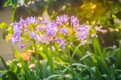 Piękny purpurowy agapantu africanus kwiat (Afrykańska leluja lub li Fotografia Royalty Free