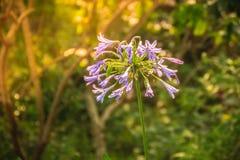 Piękny purpurowy agapantu africanus kwiat (Afrykańska leluja lub li Zdjęcie Royalty Free