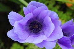 Piękny Purpurowy Anemonowy Coronaria kwiat fotografia royalty free