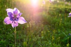 Piękny purpurowy aquilegia kwiat w promieniach słońce obrazy royalty free