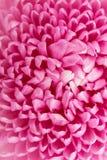 Piękny purpurowy chryzantemy zbliżenie Zdjęcie Stock