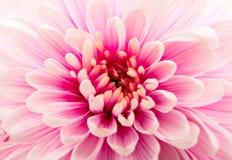 Piękny purpurowy chryzantemy zbliżenie Fotografia Stock