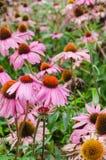 Piękny Purpurowy coneflower jako zieleń opuszcza tło fotografia royalty free