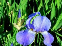 Piękny Purpurowy Irysowy kwiat i pączek Shinning w słońcu Fotografia Stock