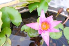 Piękny purpurowy lotos na wodzie - zamyka w górę zdjęcie stock