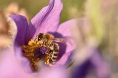 Piękny purpurowy mały owłosiony sasanek (Pulsatilla grandis) Kwitnący na wiosny łące przy zmierzchem Zdjęcia Royalty Free