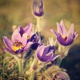 Piękny purpurowy mały owłosiony sasanek (Pulsatilla grandis) Kwitnący na wiosny łące przy zmierzchem Fotografia Stock