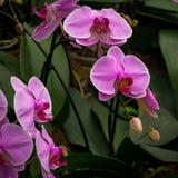 Piękny Purpurowy orchidea ogród z zielonymi liśćmi zdjęcia royalty free