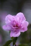 Piękny purpurowy poślubnika kwiat zdjęcie royalty free