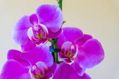Piękny purpurowy storczykowy kwiat w kwiatu botanicznym zakończeniu w górę makro- odosobnienia obraz stock