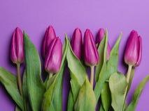 Piękny purpurowy tulipanowy tło tulipany purpurowych Obraz Royalty Free
