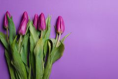 Piękny purpurowy tulipanowy tło tulipany purpurowych Fotografia Royalty Free