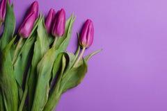 Piękny purpurowy tulipanowy tło tulipany purpurowych Fotografia Stock