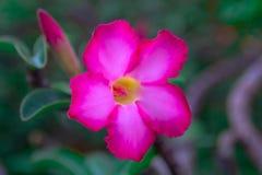 Piękny pustyni róży kwiat w ogródzie Obraz Royalty Free