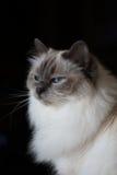 Piękny puszysty biały dziecka błękit przyglądał się kota na Czarnym tle obraz royalty free