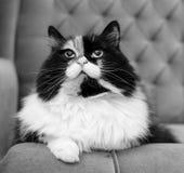 Piękny puszysty kot, czarny i biały Obraz Royalty Free