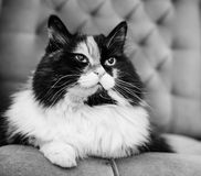 Piękny puszysty kot, czarny i biały Zdjęcia Royalty Free