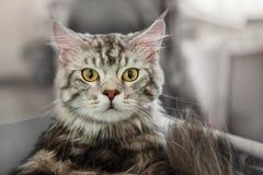 Piękny puszysty szary kota Maine Coon patrzeje kamerę Obraz Royalty Free