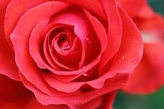 Piękny róża kwiat w ogródzie Fotografia Stock