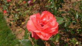 Piękny róża kwiat w ogrodowym Srilanka zdjęcie royalty free