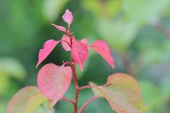 Piękny różany liść w ogródzie z raindrops Obrazy Royalty Free
