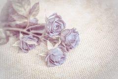 Piękny różany miękki błękitny kwiatu okwitnięcia rocznika grunge tło 8 karciany eps kartoteki powitanie zawierać szablon Płytka g Fotografia Royalty Free