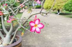 Piękny Różowy Adenium kwiat, menchia kwitnie w ogródzie Fotografia Stock