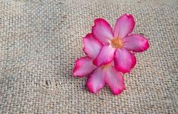 Piękny różowy adenium obesum Zdjęcie Stock
