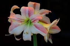 Piękny różowy amarylek przeciw czarnemu tłu Fotografia Stock