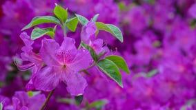 Piękny różowy azalia sztandar fotografia stock