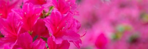 Piękny różowy azalia sztandar fotografia royalty free