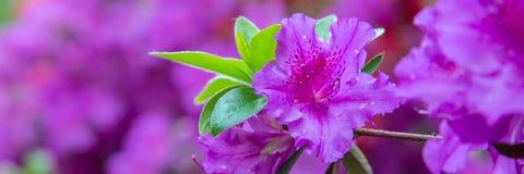 Piękny różowy azalia sztandar obraz stock