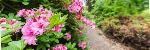 Piękny różowy azalia sztandar obraz royalty free