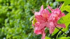 Piękny różowy azalia sztandar obrazy royalty free